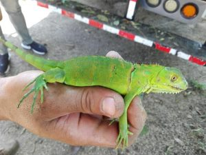 Mangrove species reptile