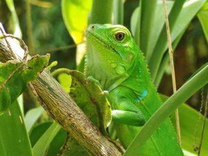 Mangrove species, frog